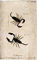 Two scorpions; Ischnurus australasia and Ischnurus complanat Wellcome V0022405.jpg