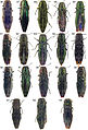Type specimens of Agrilus - ZooKeys-256-035-g004.jpeg