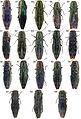Type specimens of Agrilus - ZooKeys-256-035-g004.jpeg
