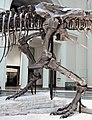 Tyrannosaurus rex (theropod dinosaur) (Hell Creek Formation, Upper Cretaceous; near Faith, South Dakota, USA) 36.jpg