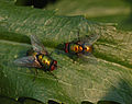 Unidentified Pair of Flies on a Leaf 2390px.jpg