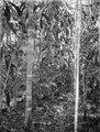 Urskog. Två raka stammar i förgrunden. S-te Marie de Marovoay. Madagaskar - SMVK - 021876.tif