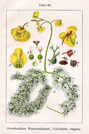 "Utricularia - Utricularia vulgaris illustration from Jakob Sturm's ""Deutschlands Flora in Abbildungen"", Stuttgart (1796)"