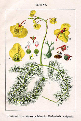 "Utricularia - Utricularia vulgaris illustration from Jakob Sturm's ""Deutschlands Flora in Abbildungen"", Stuttgart (1796)"