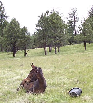 "Endurance riding - Mule ""ground tied"" to a bucket while resting at an endurance ride veterinary checkpoint"