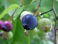 Vaccinium corymbosum (Northern highbush blueberry).jpg