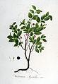 Vaccinium myrtillus — Flora Batava — Volume v6.jpg