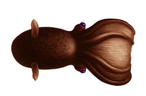 Vampire squid - Dorsal view