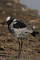 Vanellus armatus -near Lake Nakuru, Kenya-8.jpg