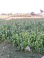 Vegetation near Kheewa, Jalalpur Gujrat Road.jpg