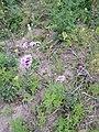 Verbena bonariensis sl7.jpg