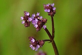 Verbena brasiliensis - Inflorescences with ichneumon wasp pollinator