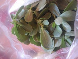 Portulaca oleracea - Fresh culinary purslane