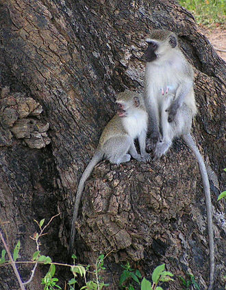 Vervet monkey - Female and juvenile, Kruger Park, South Africa