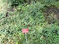 Vicia cassubica - Botanischer Garten, Frankfurt am Main - DSC02613.JPG