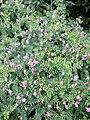 Vicia dumetorum sl17.jpg