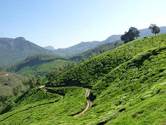 Indian tea culture - Tea Garden on way to Devikulam, Kerala.