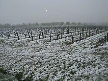 Photographie montrant une vigne enneigée après une chute de neige tardive, le 8 mars 2010 à Gaillac.