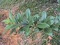 Vitex trifolia 11.JPG