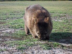 Common wombat - Common wombat in Narawntapu National Park, Tasmania