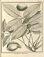 Vouacapoua americana Aublet 1775 pl 373.jpg