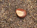 Vrucht van kastanje (Castanea sativa).JPG