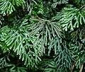 WP2-Hymenophyllum-Exkursion nach Berdorf (Luxemburgexkursion) 011.jpg
