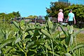 Walking by common milkweed (35095067822).jpg