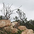 Wallaby, Australia.jpg