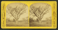 Washington elm, Cambridge, Mass, from Robert N. Dennis collection of stereoscopic views 2.png