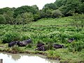 Water buffalo in the marshes - geograph.org.uk - 445640.jpg