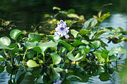 Common water hyacinth in flower