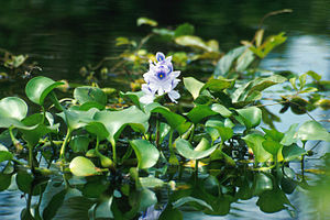 Eichhornia - Common water hyacinth in flower