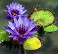 Water lilies (2143816034).jpg