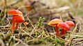 Waxcap Fungi (10624904683).jpg