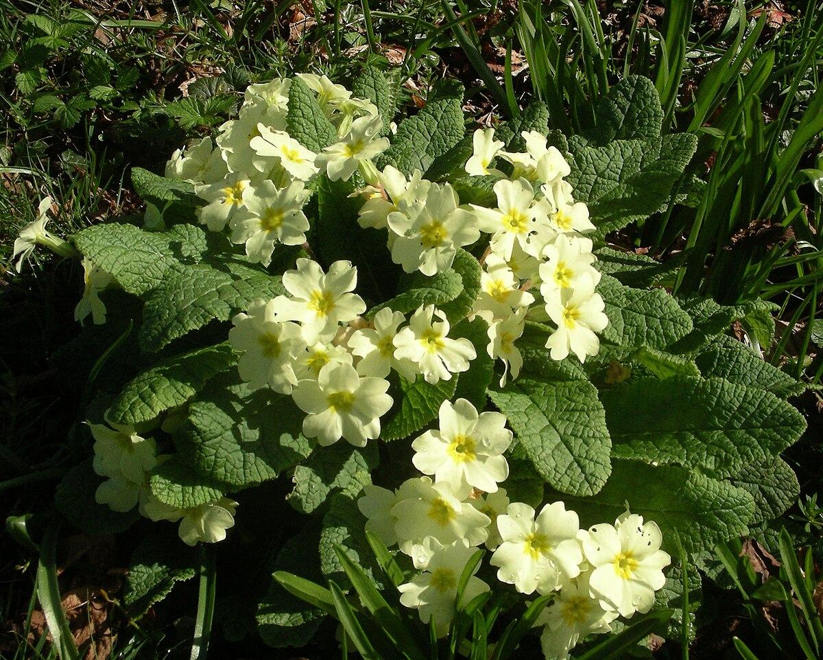 Primulaceae - Wikipedia