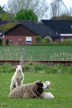 Wesselburen bahnschafe 05.05.2010 13-56-27