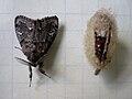 Western Tussock Moth and Cocoon.jpg