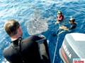 Whaleshark KohChang5.png