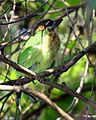 White-cheeked Barbet (Megalaima viridis) - Flickr - Lip Kee.jpg