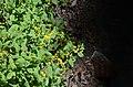 White-haired goldenrod Daniel Boon National Forest.jpg