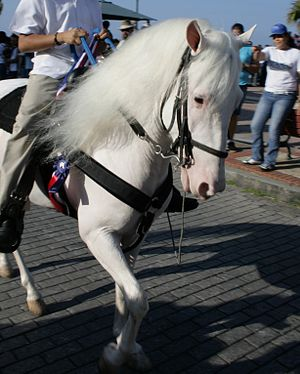 White (horse) - True white horses have pink skin and white coats, and many have dark eyes, as here.