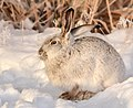 White-tailed jackrabbit at Seedskadee National Wildlife Refuge (39153568204).jpg