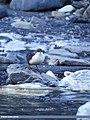 White-throated Dipper (Cinclus cinclus) (32072196073).jpg