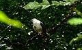 White Hawk (Pseudastur albicollis) (27583475239).jpg
