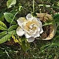 White Rose 160706.jpg
