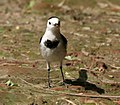 White Wagtail- (Non-breeding- leucopsis race) at Kolkata I IMG 7984.jpg