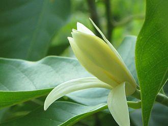 Magnolia champaca - white champak flower
