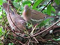 White winged doves-Yucatán.jpg