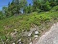 Wild Blueberry Bushes on Bald Mountain.jpg
